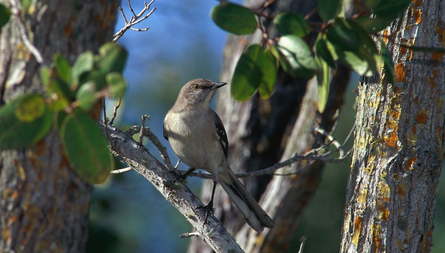 Male mockingbirds sing day and night during the late spring and early summer.