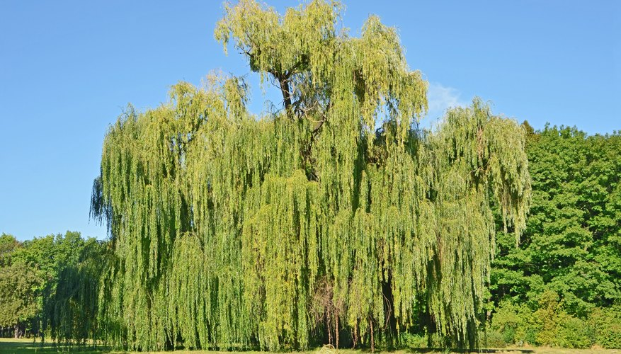 Large weeping willow tree.