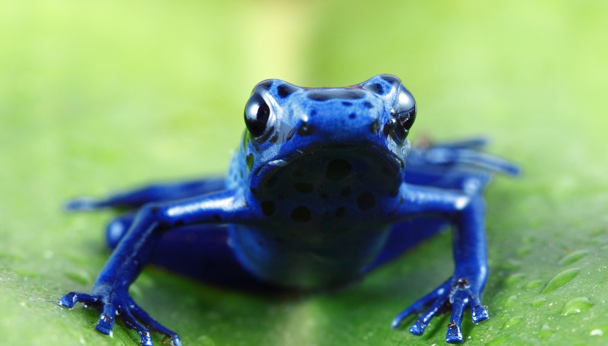 A close-up of a blue poison dart frog on a bromeliad leaf.