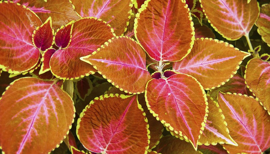 A close-up of red and yellow coleus plants.
