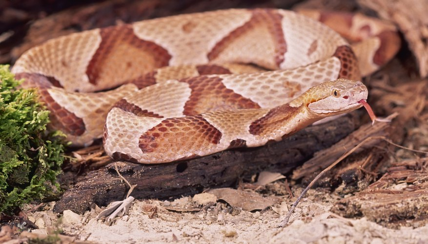 Copperheads favor forests and woodlands.