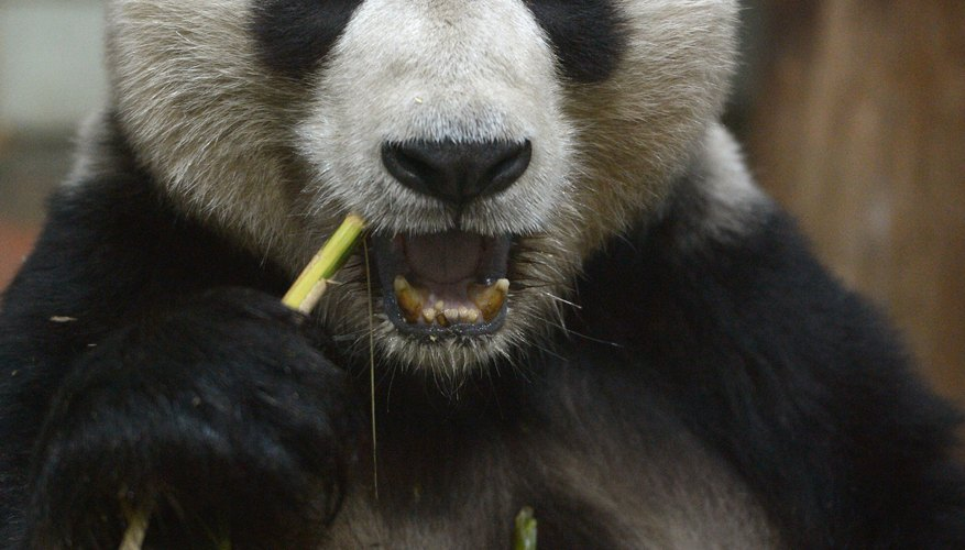 A panda's diet consists primarily of bamboo.