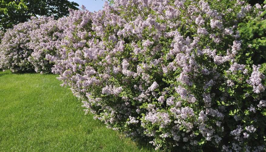 A row of blooming lilac bushes growing along the edge of a backyard.