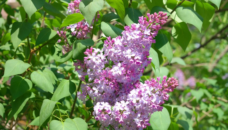 Lilacs' perfumed blooms come in white, pink, and shades of purple.