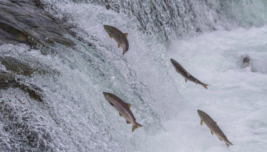 Sockeye salmon swimming upstream.