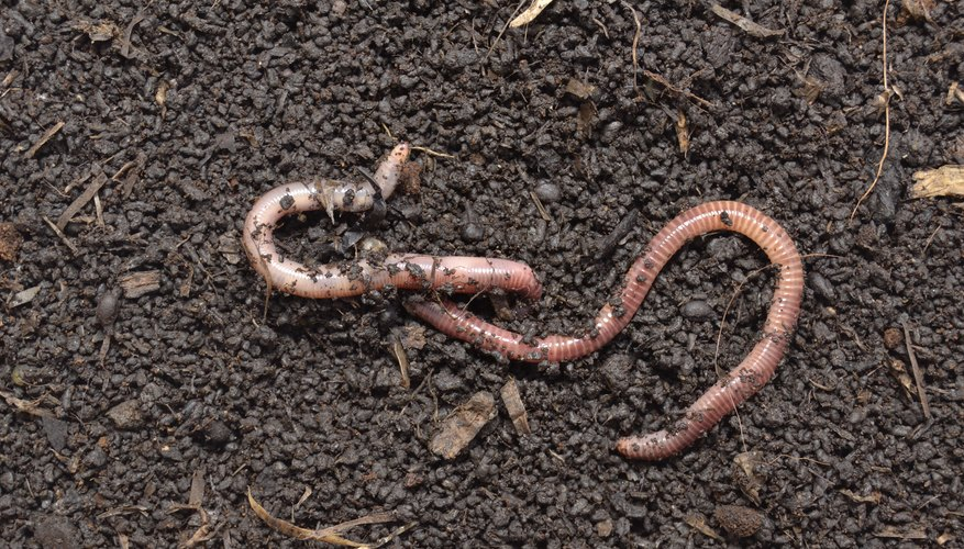 two earthworms mating