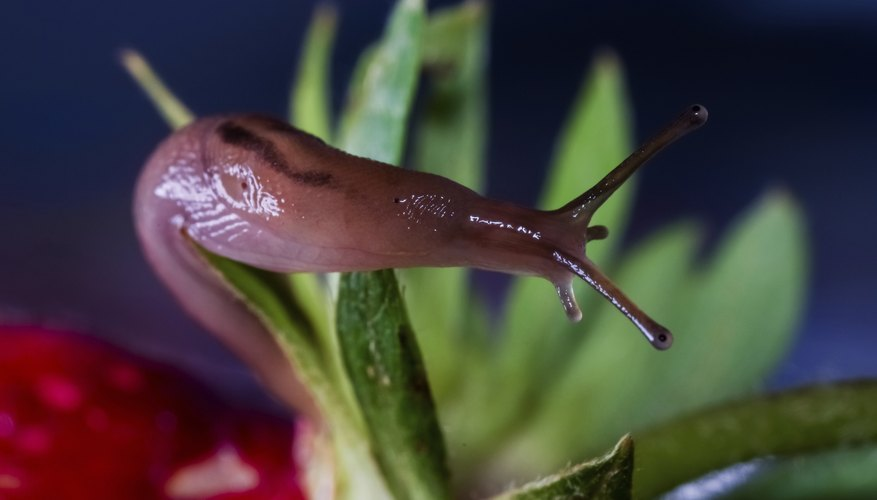 Toss slugs into a plastic bag in the trash, or release them out in a natural area.