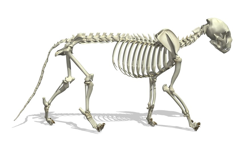differences between a cat, dog, & human skeleton | sciencing, Skeleton