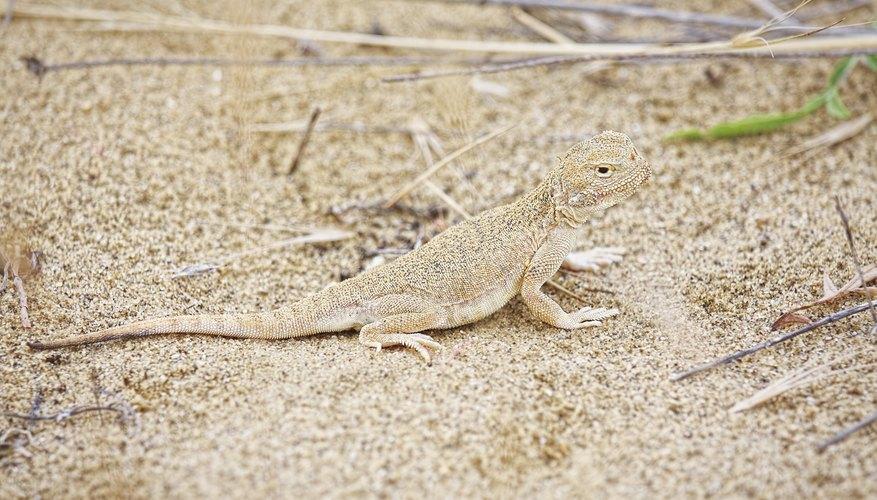 A fringe-toed lizard walks across the sand.