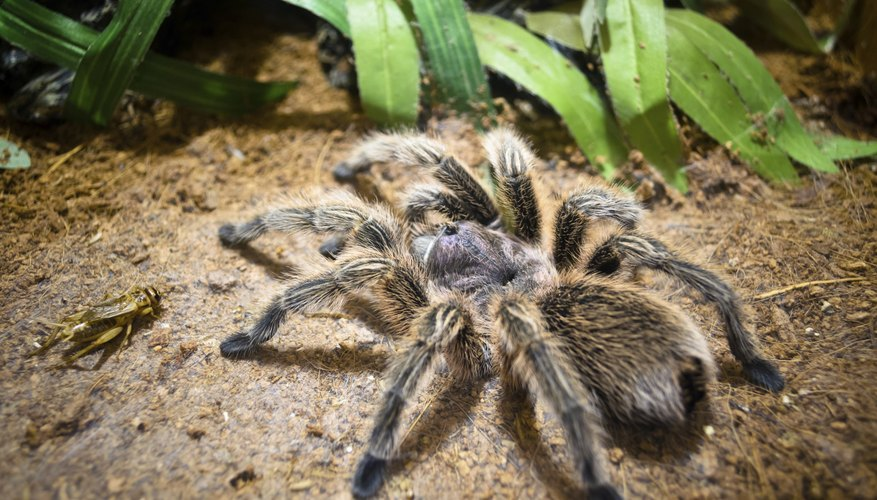 tarantulas are not poisonous to humans
