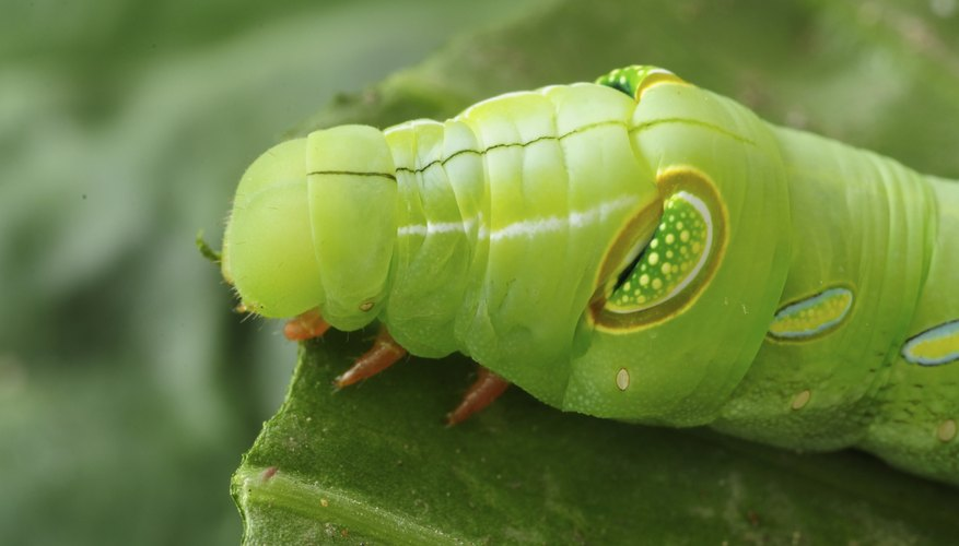 A caterpillar eating a leaf.