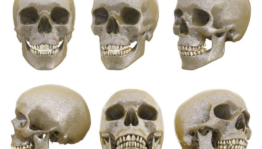 → Estructura de un cráneo humano | Geniolandia