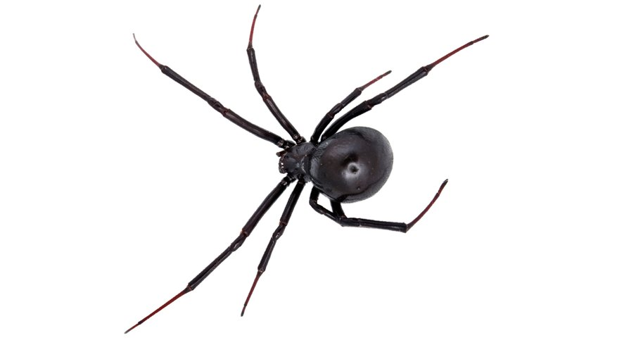 The back of the black widow sometimes has red dots or no markings.