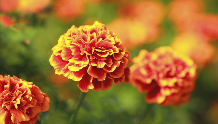 Healthy marigold plants are less likely to be seriously affected by insects or disease.