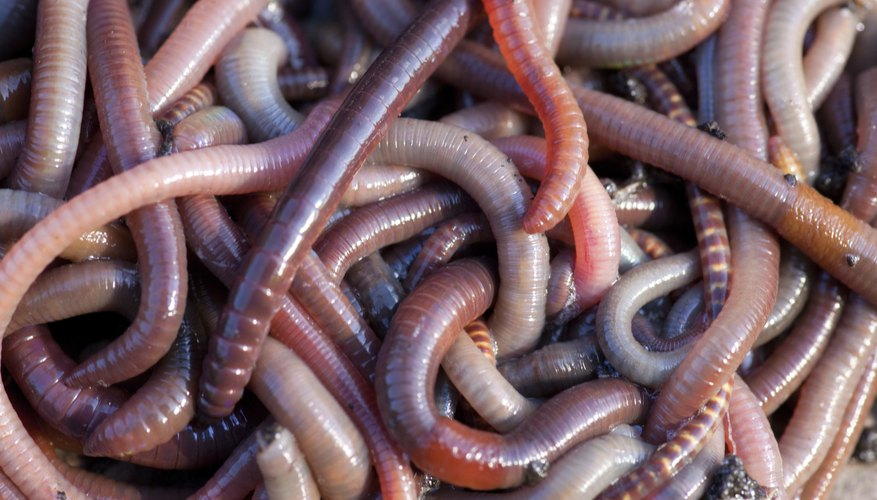 Close-up of earthworms