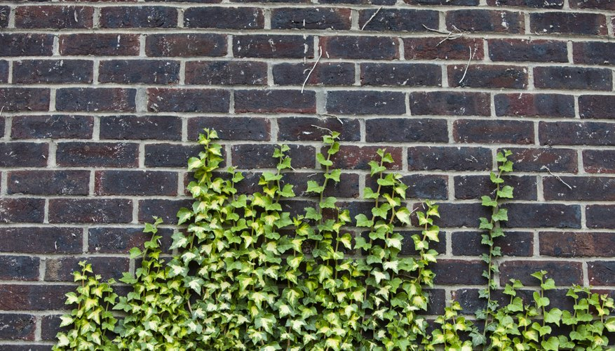 Vines growing on wall.