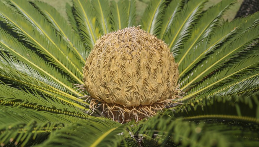 Many cycads develop showy cones at their centers.