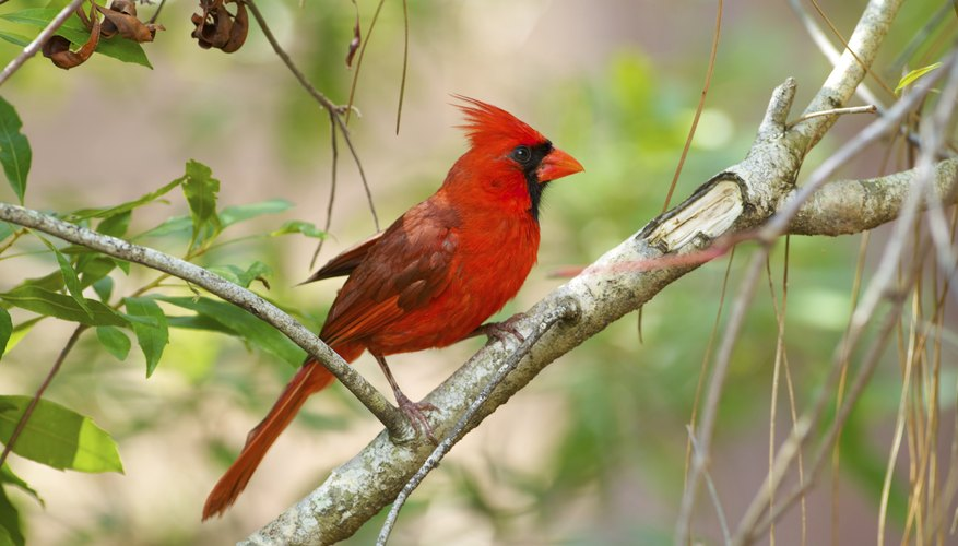 How To Tell If A Cardinal Bird Is Male Or Female Sciencing
