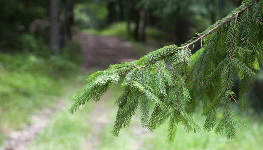 La rama de un árbol de abeto.