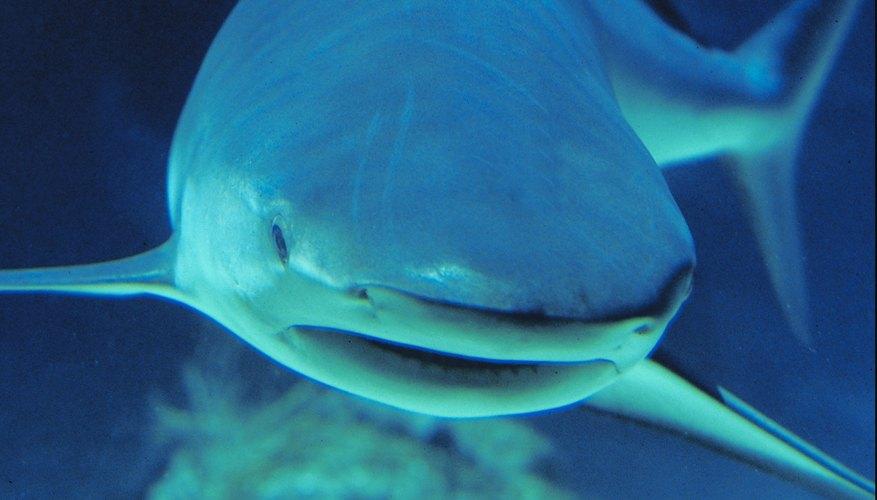 Un tiburón es un pez cartilaginoso.
