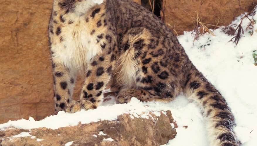 Critically endangered snow leopards have adaptations that help them tolerate high altitudes, extreme cold and the challenges posed by mountain terrain.