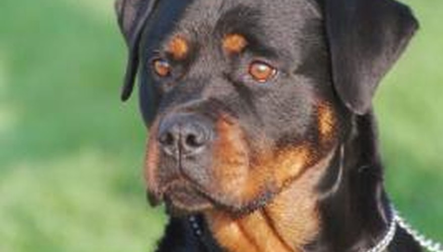 Large, active dogs, such as Rottweilers,  generally require a fenced yard.