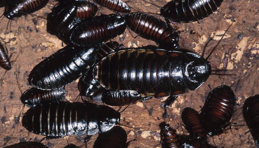 Las cucarachas se reproducen rápidamente.