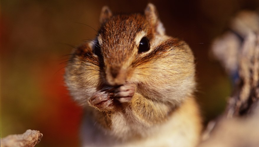 Squirrels can stuff their cheeks full of food to carry off for later.