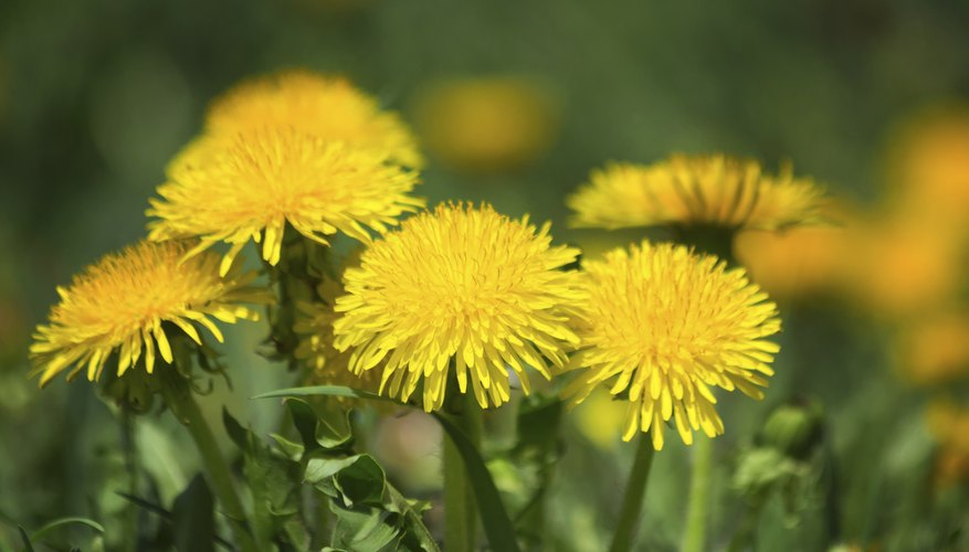 Dandelions grow up to 10 inches wide.