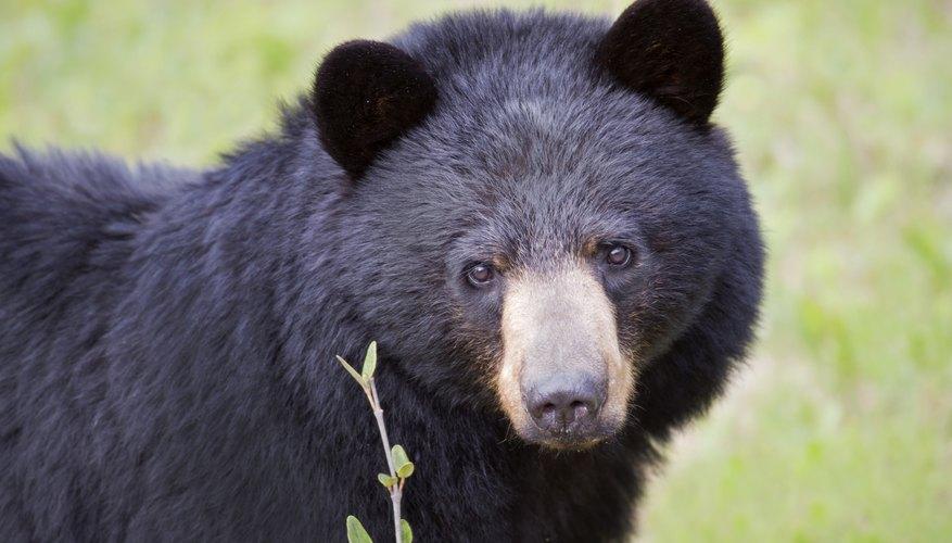 black bear in field