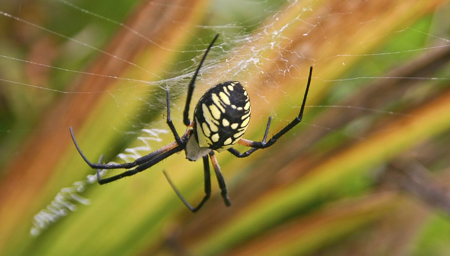 Yellow and black markings on a spider.