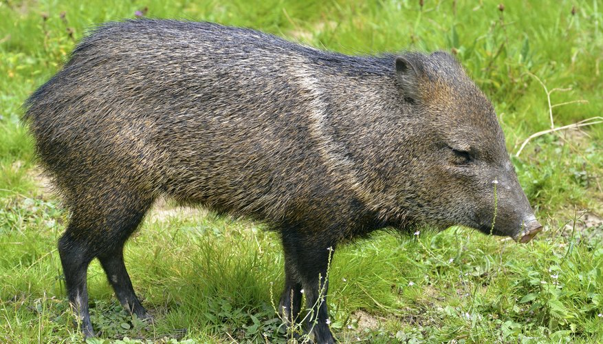 Peccary on grass