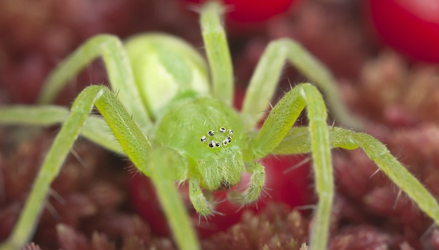 huntsman spiders seek refuge in human structures before a rainstorm.