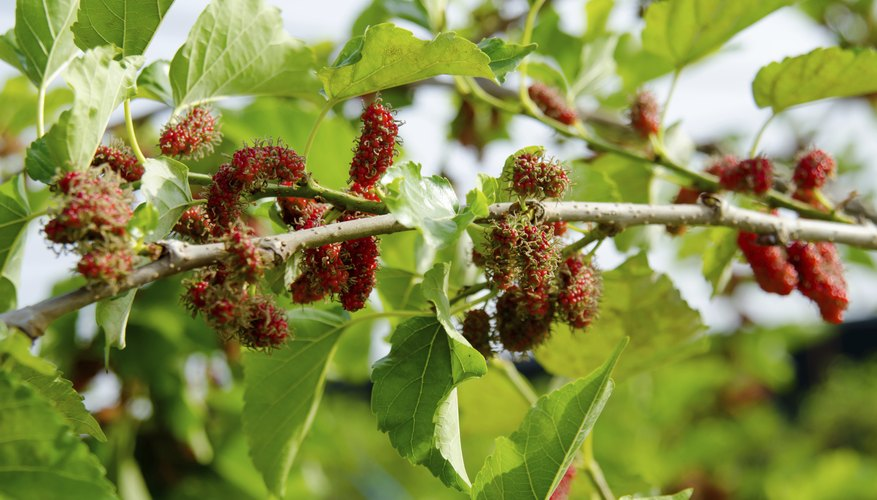 Red mulberries on tree branch