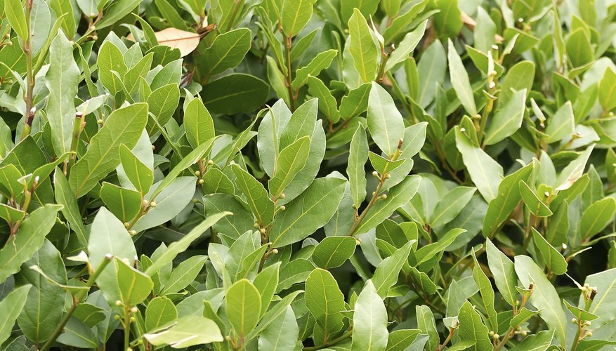 Bay laurel is also called Grecian laurel and sweetbay.