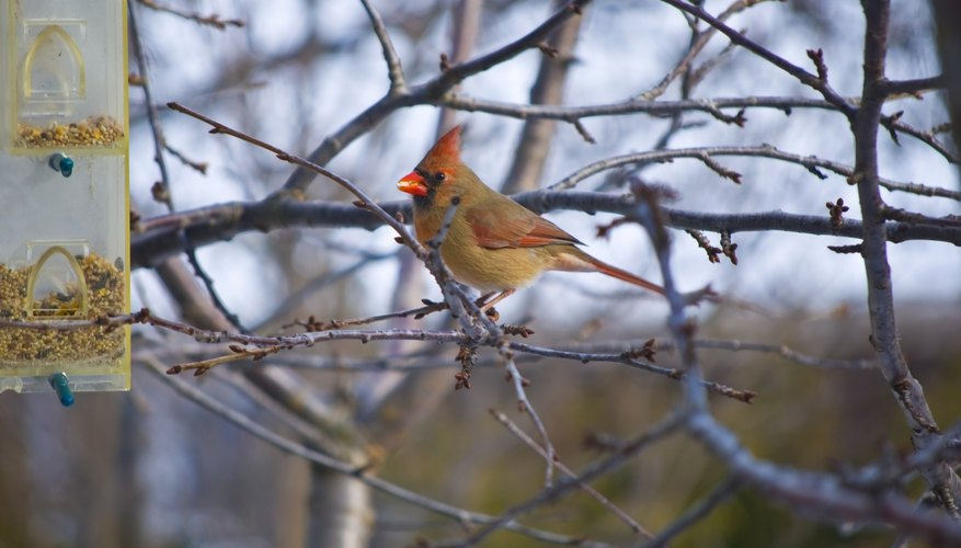 A female cardinal approaches a birdfeeder located near tree branches