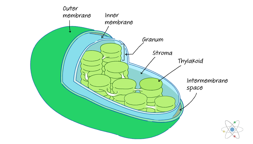 Chloroplast  Definition  Structure  U0026 Function  With Diagram