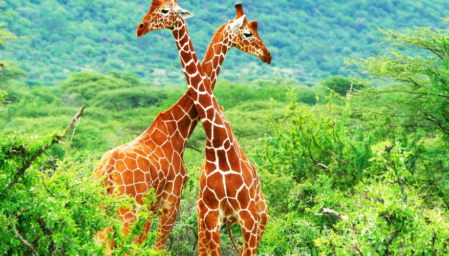 How Do Giraffes Mate