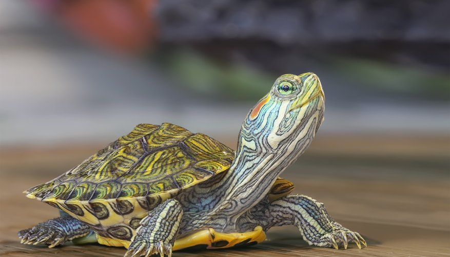 What Animals Eat Turtles?