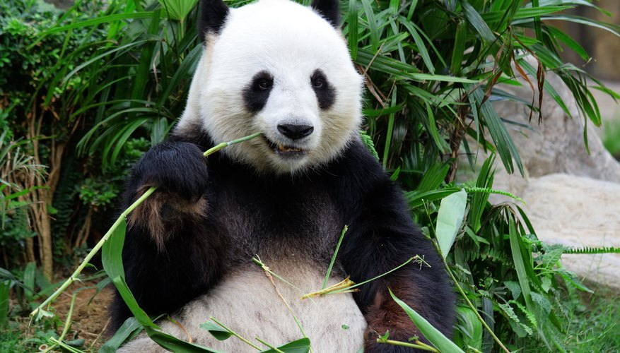 How Do Giant Pandas Survive