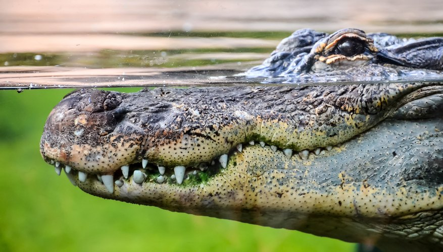 Alligator & Crocodile Similarities