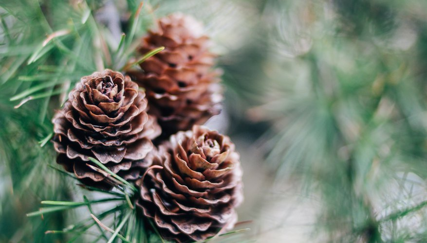 The Differences Between Male Pollen & Female Seed Pine Cones