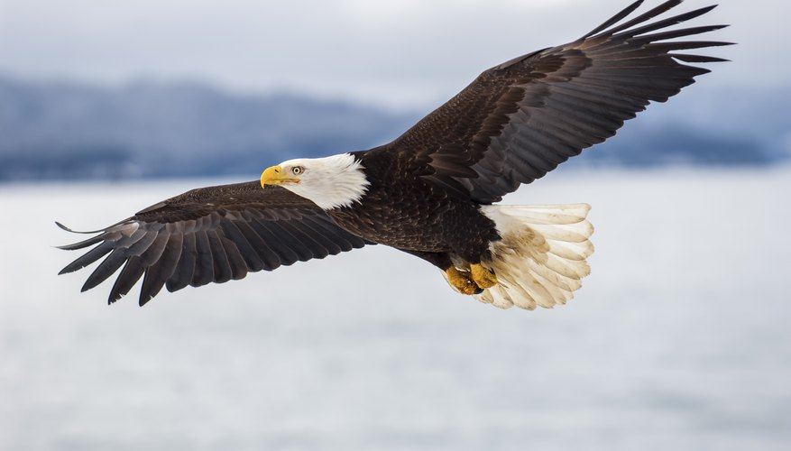 Status Distribution And The Future Of Bald Eagles In Chesapeake Bay Area
