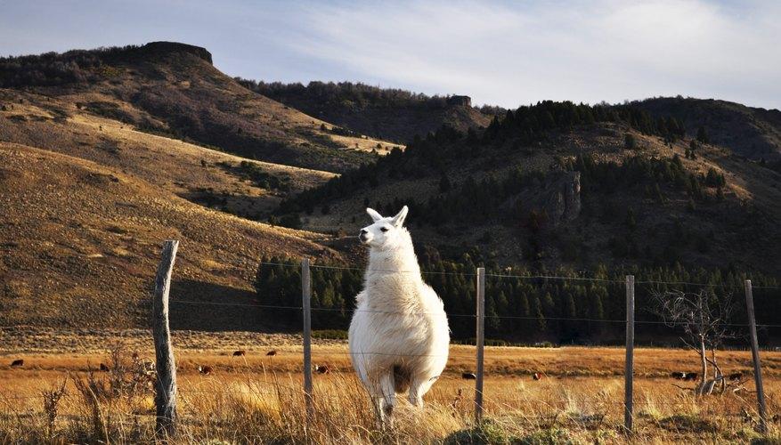 How Do I Raise Llamas to Make Money?
