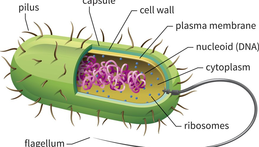 Facts About Prokaryotic Sciencing