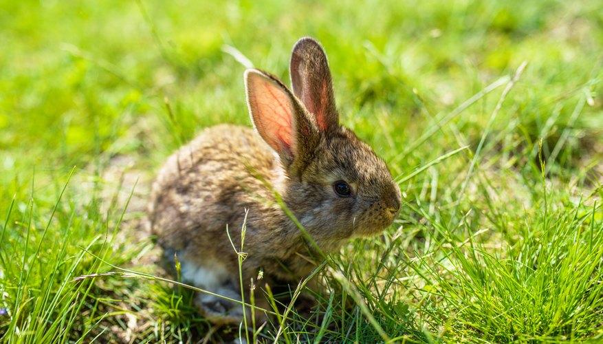 Image of: Newborn Baby Bunny Science Sciencing How To Nurse Or Care For Wild Baby Rabbit Sciencing