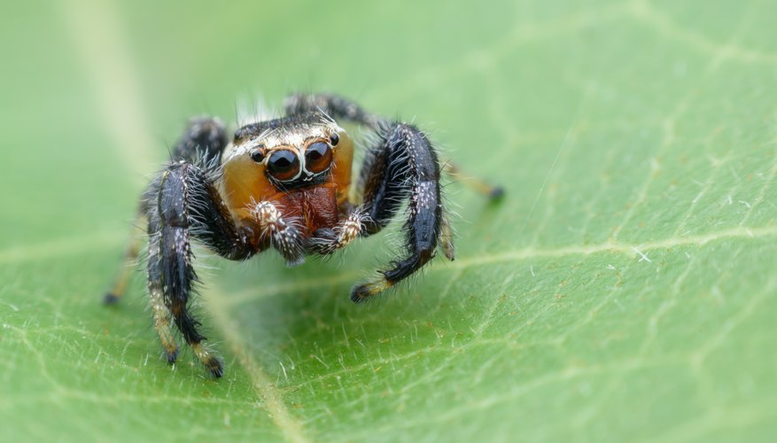 Types Of Spiders Black With White Dots Sciencing