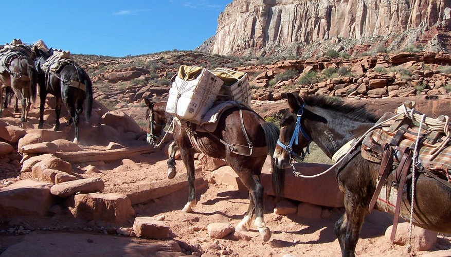 What to Expect During a Grand Canyon Mule Ride