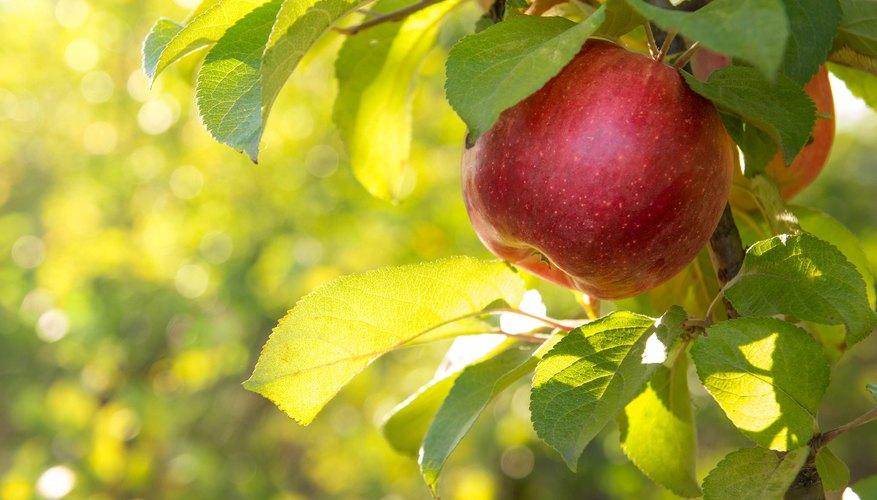 Apple tree leaf identification sciencing identifying trees with a dichotomous key mightylinksfo