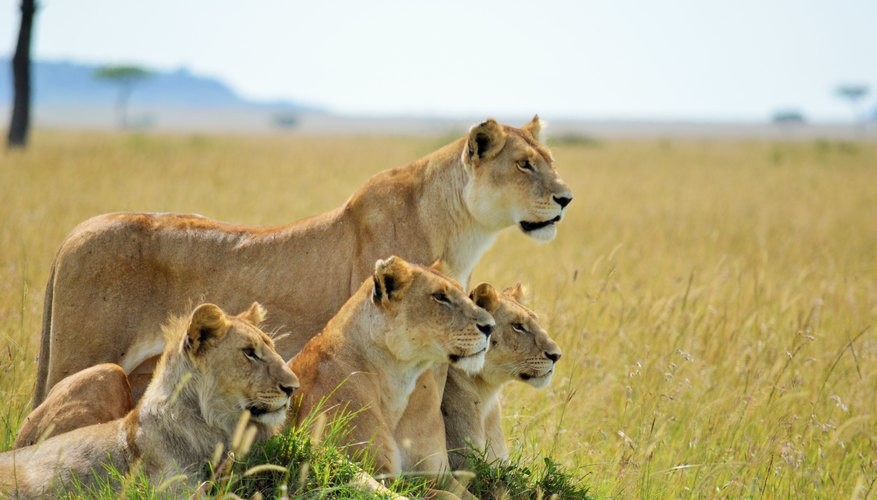 difference between male female lions sciencing